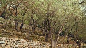 Olijfgaard op verscheidene niveaus Bomenolijven stock videobeelden