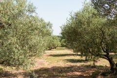 Olijfgaard in zonnig zuidelijk Europa Stock Fotografie