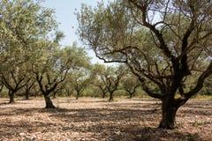 Olijfgaard in zonnig zuidelijk Europa Royalty-vrije Stock Foto's