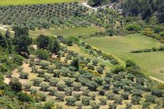 Olijfgaarden dichtbij Château des Baux, Frankrijk Royalty-vrije Stock Afbeeldingen