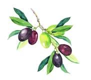 Olijftak - groene, zwarte olijven watercolor Stock Foto