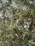Olijven die op een olijfboom groeien Royalty-vrije Stock Fotografie