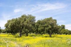 Olijven op bloemrijk gebied in de Lente royalty-vrije stock afbeeldingen