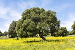 Olijven op bloemrijk gebied in de Lente stock foto