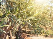 Olijven op de olijfbomen in landbouwbedrijf Royalty-vrije Stock Foto's