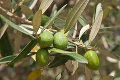 Olijven op de olijfboom Stock Foto