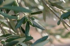 Olijven op een olijftak Royalty-vrije Stock Fotografie