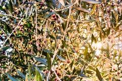 Olijven op tak van olijfboom bij zonsondergang stock afbeeldingen