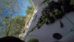 Olijven van boom in de zak stock footage
