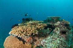 Olik korallrever och fjäderstjärna i Gili, Lombok, Nusa Tenggara Barat, Indonesien undervattens- foto Fotografering för Bildbyråer