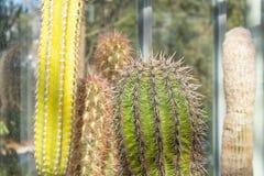 Olik lång kaktus i ett tropiskt växthus royaltyfria bilder
