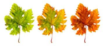 olik leaf tre Royaltyfri Bild