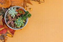 Olik sort av suckulenta växter i en caninställning på papp med torkade sidor Royaltyfria Bilder