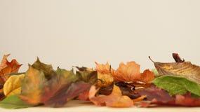 Olika färgade Autumn Leaves mot en ljus bakgrund fotografering för bildbyråer