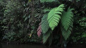 Olika färger av jättelika ormbunkar bredvid en liten flod i tropisk rainforest stock video