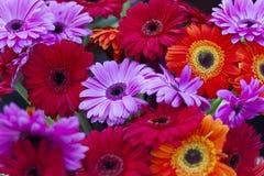 Olika färger för Gerberas Royaltyfria Bilder