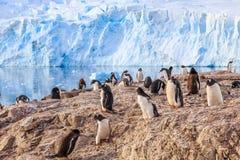 Olika gentoopingvin överbefolkade den steniga kustlinjen och glacen Arkivfoton