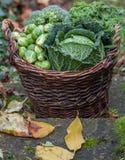 Olika gröna kålar i värma sig utomhus- på dagsljus Royaltyfri Foto
