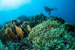 Olika hårda korallrever i Gorontalo, Indonesien arkivbilder