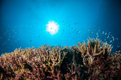 Olika revfiskar simmar ovanför hård korallAcropora i Gili, Lombok, Nusa Tenggara Barat, Indonesien det undervattens- fotoet Arkivbild