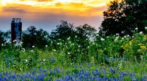 Olika Texas Wildflowers i en Texas Pasture på solnedgången Arkivbilder