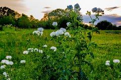 Olika Texas Wildflowers i en Texas Pasture på solnedgången Royaltyfria Bilder