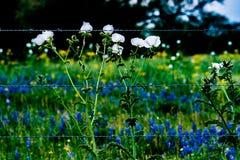 Olika Texas Wildflowers i en Texas Pasture på solnedgången med Fenc Fotografering för Bildbyråer