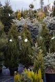 Olika typer av julgranar i till salu krukor Royaltyfria Foton