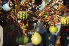 Olika typer av pumpor och squash på en trädfilial Garnering för ferier, speciellt på tacksägelsedag Arkivbild
