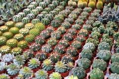 Suckulenta växter till blomman marknadsför, selektivt fokuserar Arkivfoton