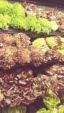 Olika variationer av organisk grönsallat och kål Royaltyfria Bilder