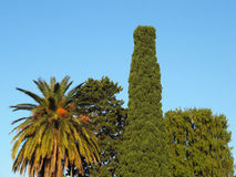 Olika vintergröna träd i den blåa himlen Arkivbild
