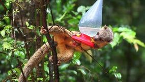 An Olingo, Bassaricyon gabbii, visits a hummingbird feeder in Costa Rica. Olingo, Bassaricyon gabbii, visits a hummingbird feeder in Costa Rica stock video footage
