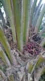 Olio di palma fotografia stock libera da diritti