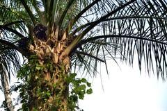Olio di palma Fotografia Stock