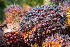 Olio di palma fresco dal giardino della palma Immagine Stock Libera da Diritti