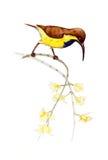 Oliv-dragen tillbaka sunbird, Guling-buktad sunbird Arkivfoton