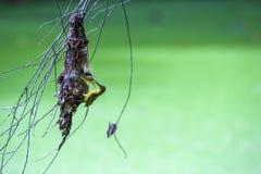 Oliv dragen tillbaka sunbirdYellow-buktad sunbird royaltyfria foton