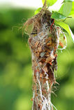 Oliv-dragit tillbaka Sunbird rede Arkivbilder