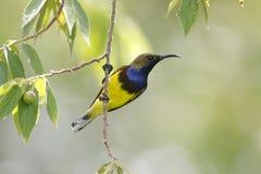 Oliv-drog tillbaka manliga gulliga fåglar för sunbirdCinnyris jugularis av Thailand Arkivbild