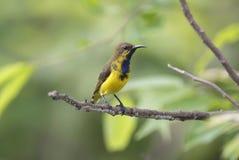 Oliv-drog tillbaka manliga gulliga fåglar för sunbirdCinnyris jugularis av Thailand Royaltyfri Fotografi