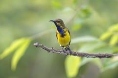 Oliv-drog tillbaka manliga gulliga fåglar för sunbirdCinnyris jugularis av Thailand Royaltyfria Foton
