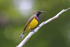 Oliv-drog tillbaka manliga gulliga fåglar för sunbirdCinnyris jugularis av Thailand Royaltyfri Bild