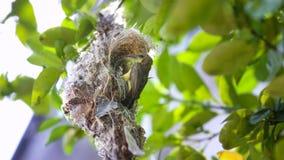 Oliv-drog tillbaka sunbirdCinnyris jugularis fotografering för bildbyråer
