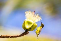 Oliv-drog tillbaka sunbirdCinnyris jugularis eller guling-buktad sunb royaltyfri foto