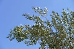 Oliv förgrena sig Arkivfoto