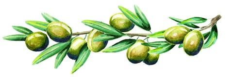 Oliv förgrena sig vattenfärg royaltyfri illustrationer