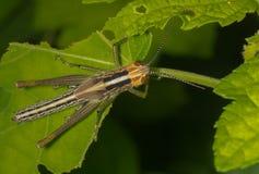 Oliv-gräsplan träskgräshoppa Arkivfoto
