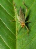 Oliv-gräsplan träskgräshoppa Arkivfoton
