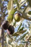 Oliv i en trädgård i Béni Mellal royaltyfria foton